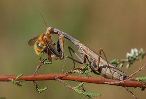 informacion-sobre-la-mantis-religiosa-2